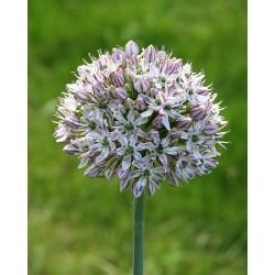 Allium decipiens ssp....