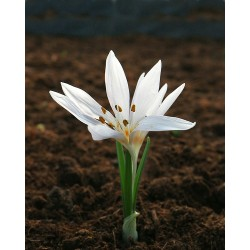 Colchicum FABERGE'S SILVER