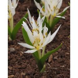 Colchicum brachyphyllum