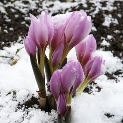 Colchicum ninae