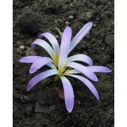 Colchicum (Merendera) montanum
