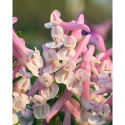 Corydalis FLAMINGO