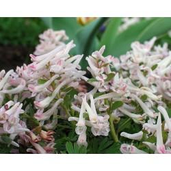 Corydalis kusnetzovii