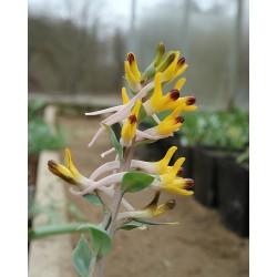 Corydalis shanginii ssp. ainae
