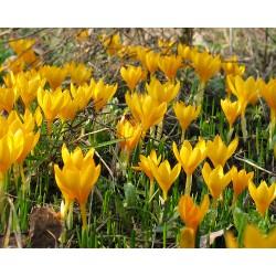 Crocus chrysanthus CREAM...