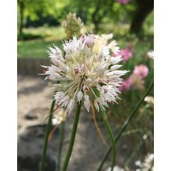 Allium globosum OPAL