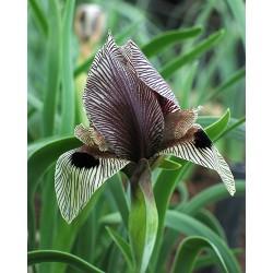 Iris grossheimii