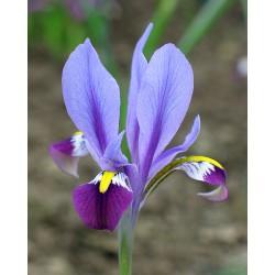 Iris (Alatavia) kolpakowskiana