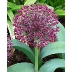 Allium karataviense ssp....