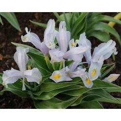Iris BLUE MYSTERY