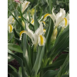 Iris orchioides