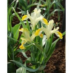 Iris orchioides KURAMIN