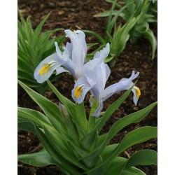 Iris hoogiana ANTIOPE