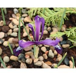 Iris stolonifera MORNING...