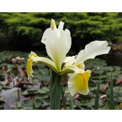 Iris THESEUS