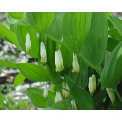 Polygonatum buschianum