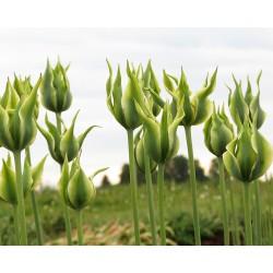Tulipa MEZA SKAISTULE