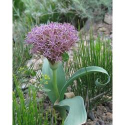 Allium cyrillii