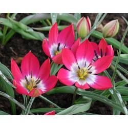 Tulipa TINY TIMO