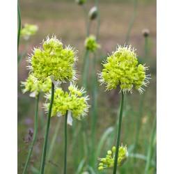 Allium decipiens quercetorum