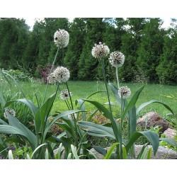 Allium diabloense