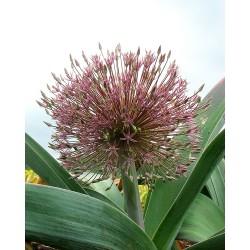 Allium alexejanum
