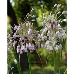 Allium fuscoviolaceum