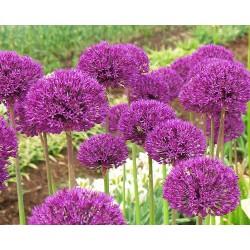 Allium globosum RUBY