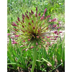 Allium sapphiere