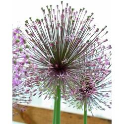 Allium rosenbachianum ssp....