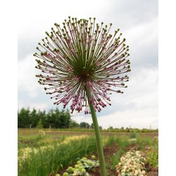 Allium haemanthoides