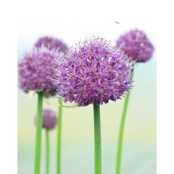 Allium altissimum GOLIATH