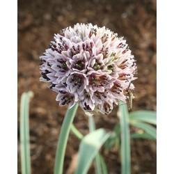 Allium struzlianum
