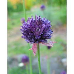 Allium aucheri