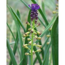 Bellevalia caucasica